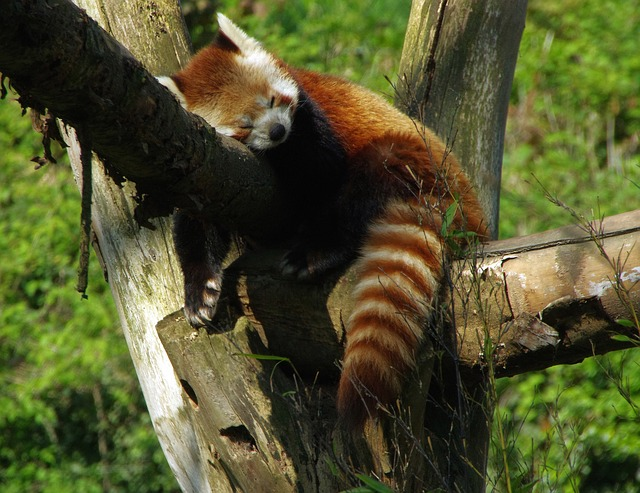 Free photo Panda Roux Zoo Lille  Free Image on Pixabay