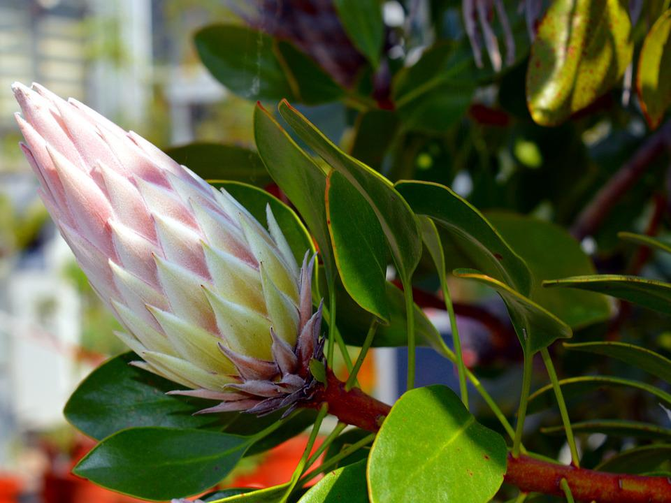 Black And Pink Flower Wallpaper Protea King 183 Free Photo On Pixabay
