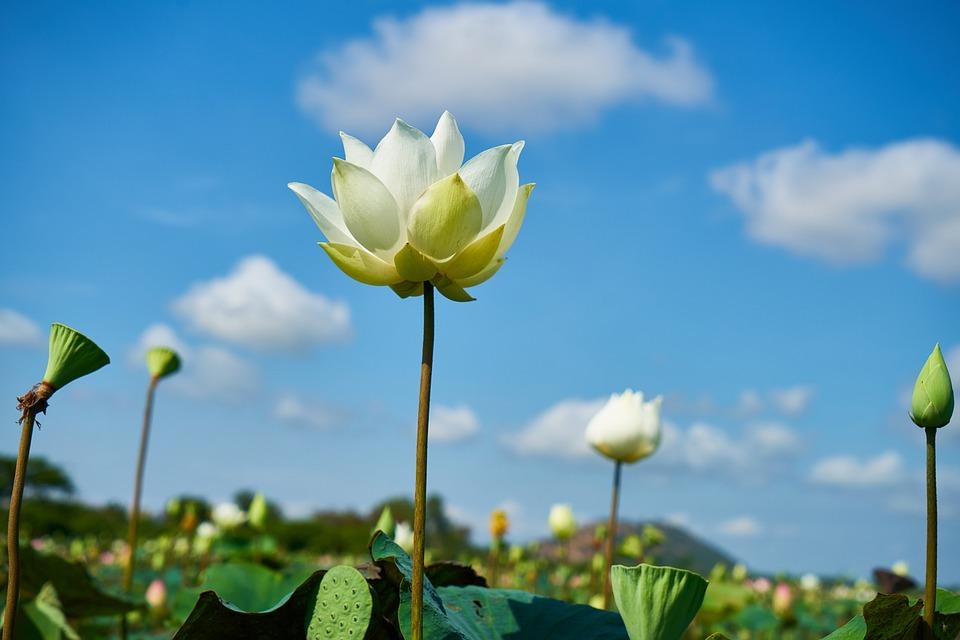 Violet Wallpaper Hd Flower White Lotus 183 Free Photo On Pixabay