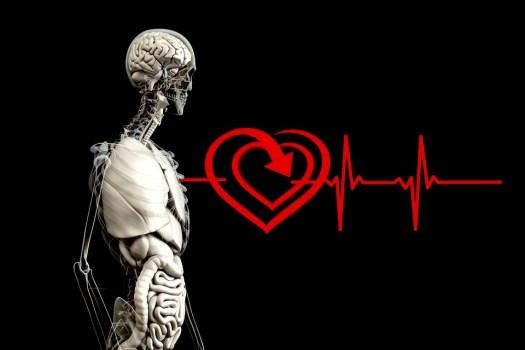 Anatomia, Umano, Cuore, Frequenza Degli Impulsi