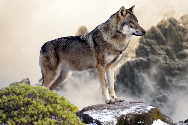 Wolf Wild Free Photo On Pixabay