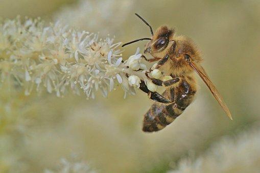 bees queens