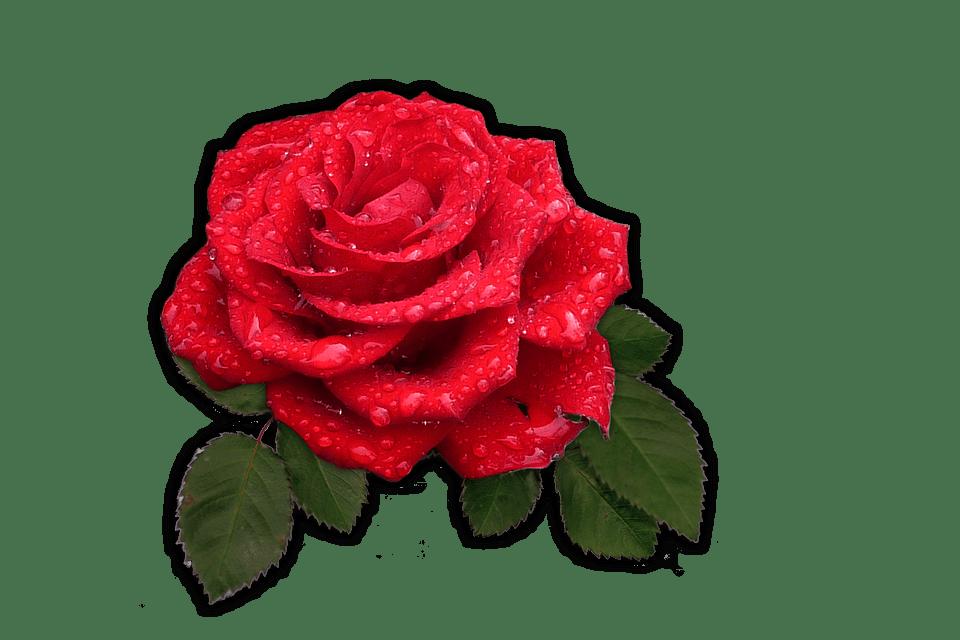 Rose Red Flower Free Image On Pixabay