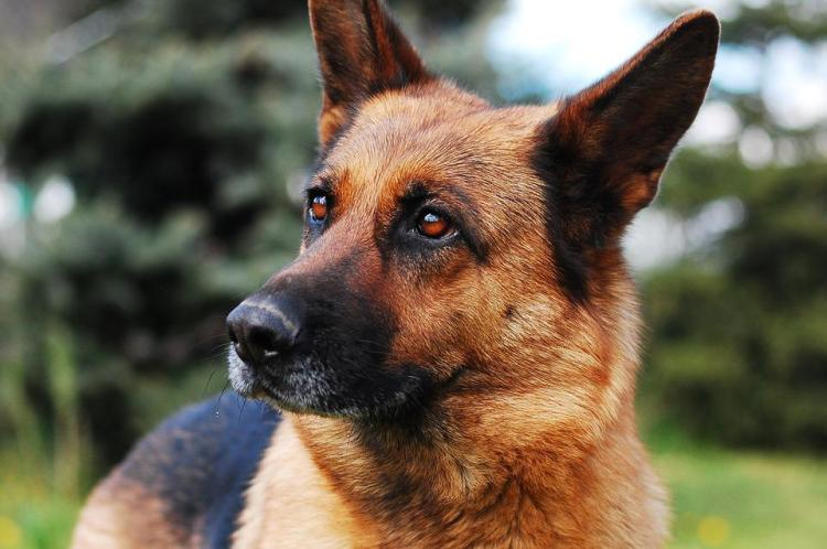 What You Should And Shouldn't Feed German Shepherd Dogs