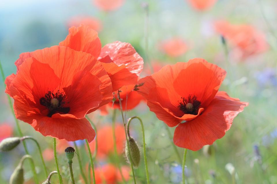 Mohn Blte Mohnblume  Kostenloses Foto auf Pixabay