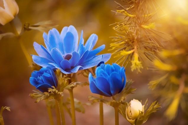 アネモネ, 青, 花, 花びら, 夏, スプリング, フローラ, 庭, 自然, ブルーム, 開花