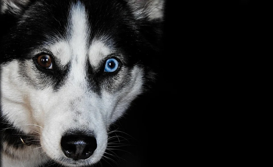 Cute Husky Puppies With Blue Eyes Wallpaper Husky Dog Pet 183 Free Photo On Pixabay