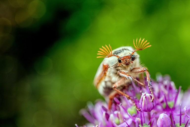 Close up May beetle