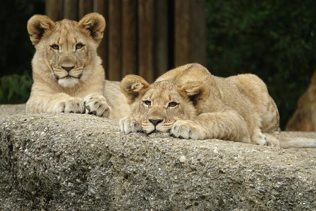 Cute Baby Girl Wallpapers Free Lion Young Animal Sleep 183 Free Photo On Pixabay
