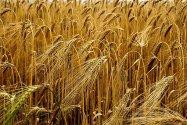 Cereals, Field, Barley,