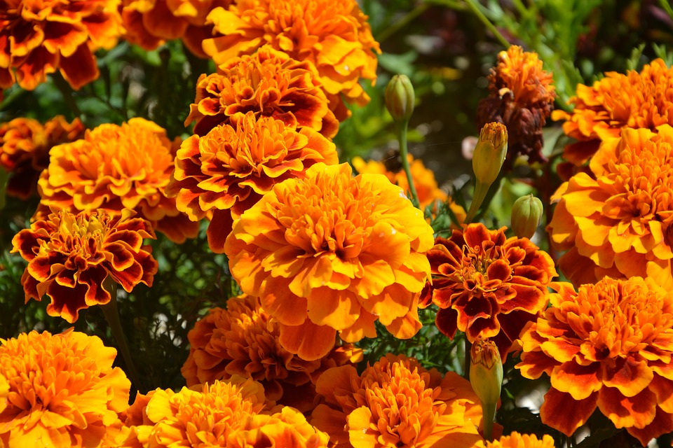 Mystical Fall Desktop Wallpaper Orange Flowers Carnations Of India 183 Free Photo On Pixabay