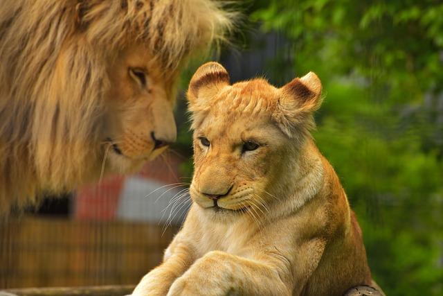 Free photo Lion Female Predator Cat  Free Image on Pixabay  2488085