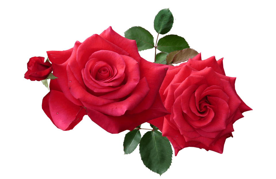 Roses Red Cut  Free photo on Pixabay