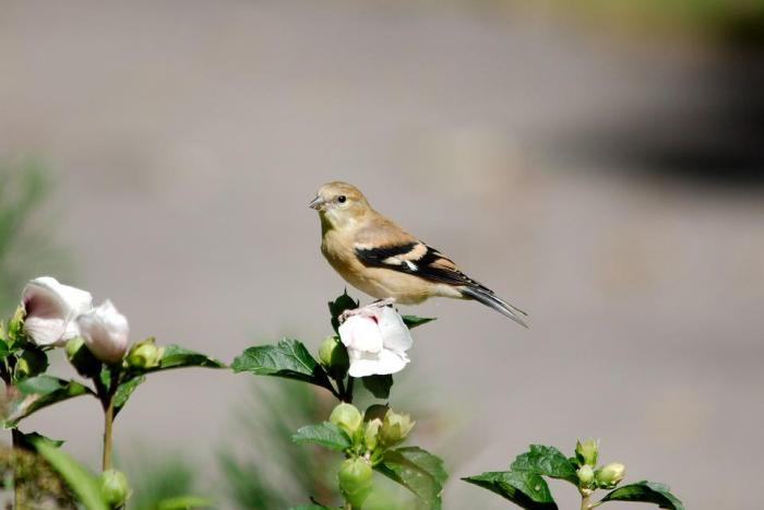 Goldfinch, Female, Bird, Avian, Wildlife, Finch