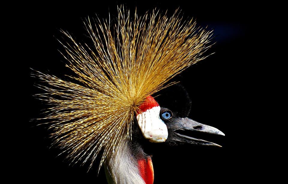 Funny Hd Animal Wallpapers Grey Crowned Crane Baleurica 183 Free Photo On Pixabay
