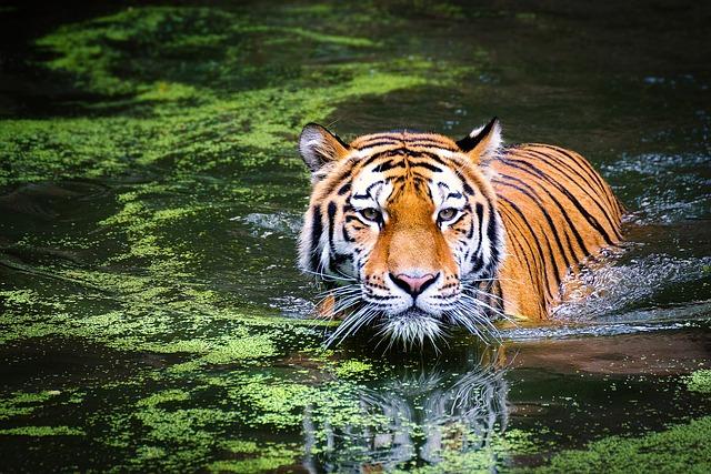 Tiger Animal Wallpaper Free Photo Tiger Wildlife Zoo Cat Free Image On