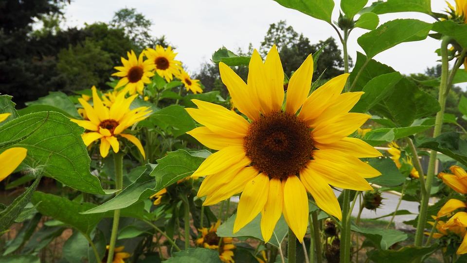 Flora Plantas Girasol Ornamental  Foto gratis en Pixabay
