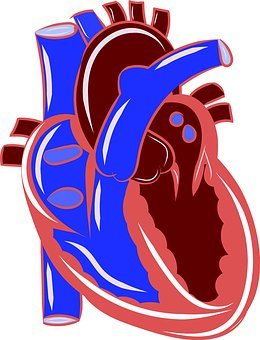Heart, Anatomy, Circulatory, Health