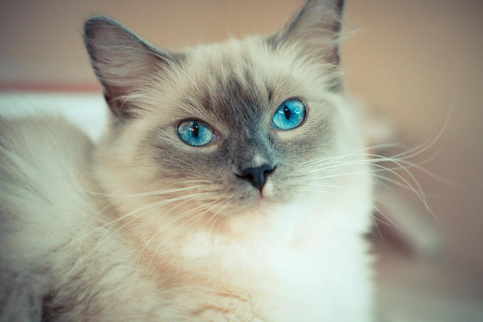 kitty cat with blue