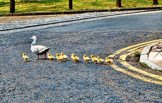 Ducks, Ducklings, Walking, Nature, Bird