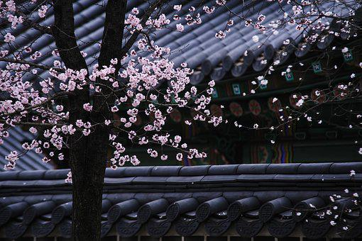 Korea, Traditional, Tree, Roofs, Blossom