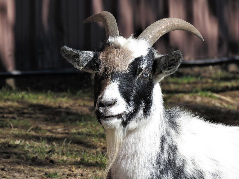cabra animales de granja