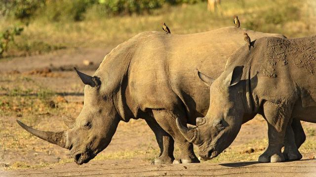Rhinoceros Pictures and Images