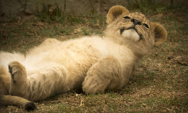 Cute White Cat Wallpaper Free Photo Lion Cub Cute Smile Comical Free Image On