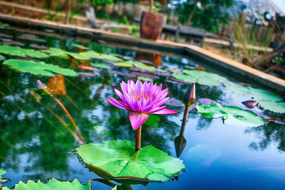 shapla ful flower water