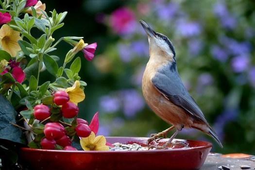 Animale, Bird, Kleiber, Sitta Europaea