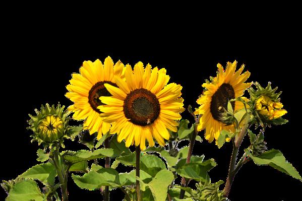 sun flower yellow free