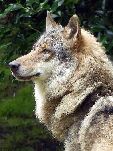 Lion Animal Wallpaper Wolf Zoo European 183 Free Photo On Pixabay