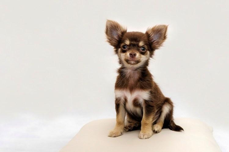 Chihuahua, Cão Pequeno, Cão, Isidro Costa, Bonito