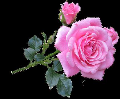 Gambar Bunga Mawar Editan Vsco  Gambar Bunga