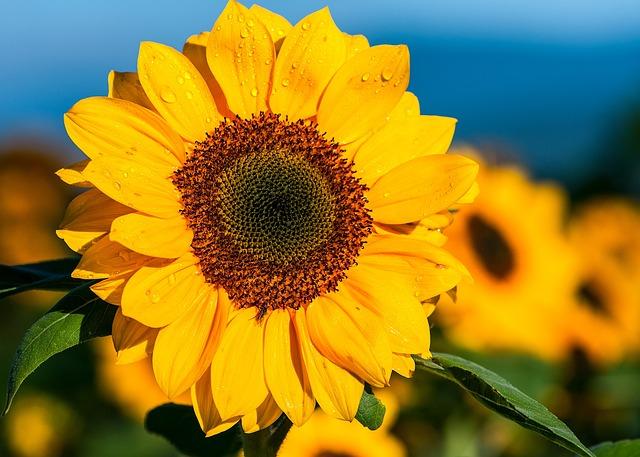 Sunflower The Morning Flower 183 Free Photo On Pixabay