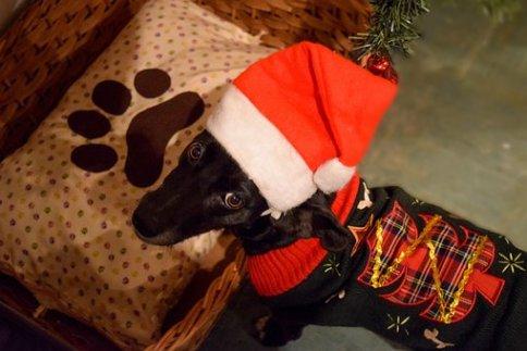 Christmas, Dog, Doggo, Cute, Pet, Puppy