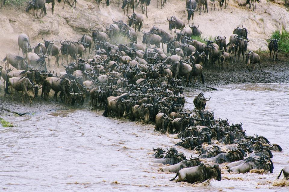 水, 自然, ケニア, アフリカ, ヌー, サファリ