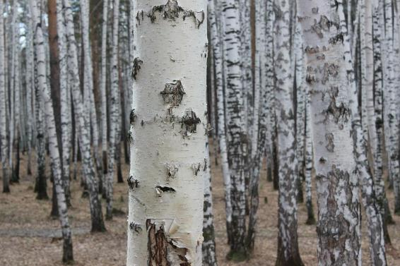 Wood, Tree, Nature, Bark, Trunk, Birch, Outdoors