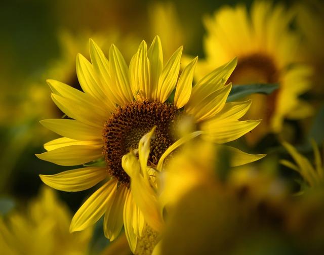 Flowers Sunflower Yellow  Free photo on Pixabay