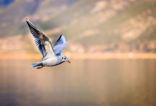 Uccello, Gabbiano, Volano, Ali, Animale