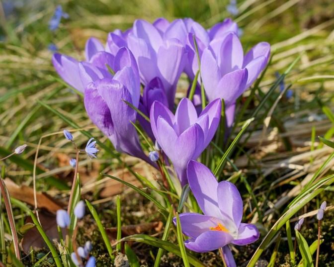 Croco, Fiore, Viola, Impianto, Fiore Di Primavera
