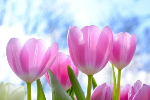 Natura, Tulipano, Flora, Fiore, Estate, Luminoso