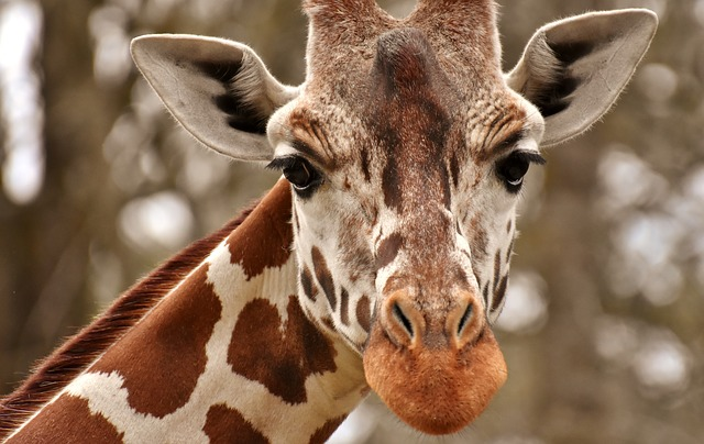 Giraffe Zoo Animal  Free photo on Pixabay