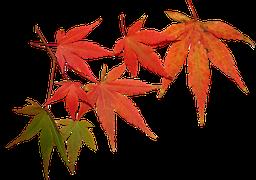 Fall Path Wallpaper Scabiosa Japanese Style Autumn 183 Free Image On Pixabay