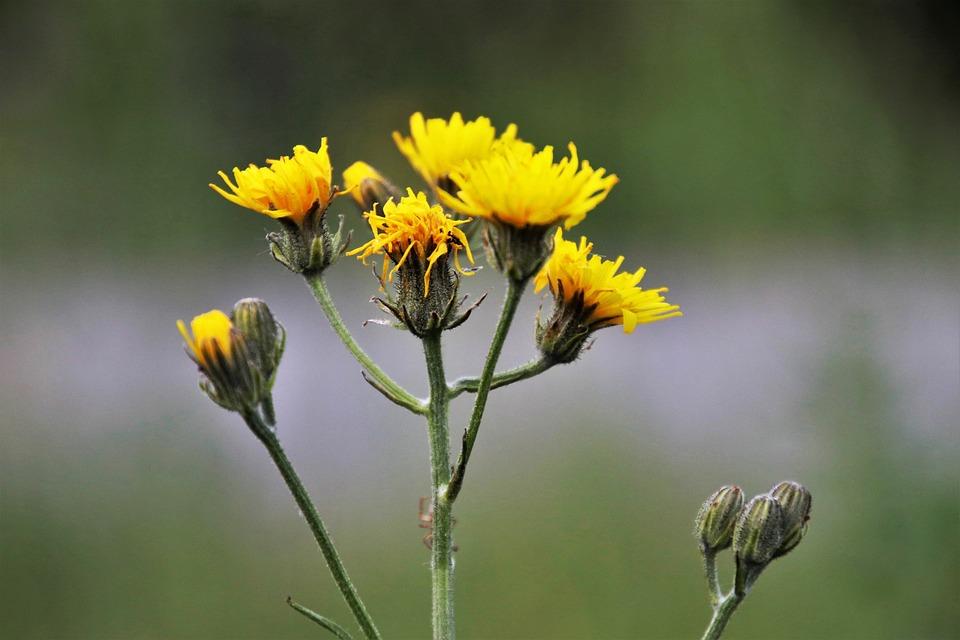 Wiese Gelbe Blume Pflanze  Kostenloses Foto auf Pixabay