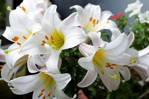 Fleurs, Lily, Le Lys Blanc