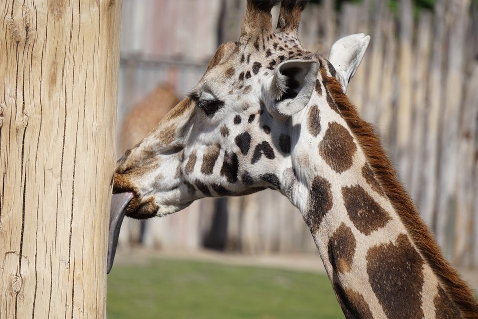 giraffe tongue zoo free