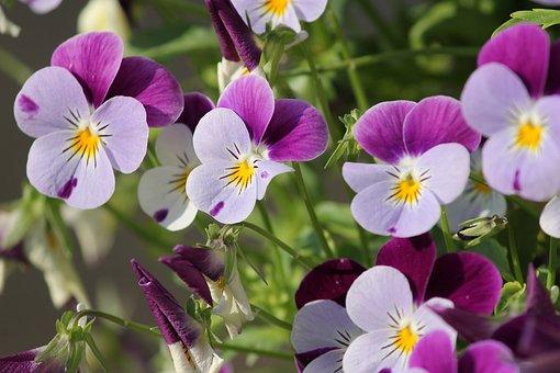 Violette, 400 – 500, Fleur, Printemps