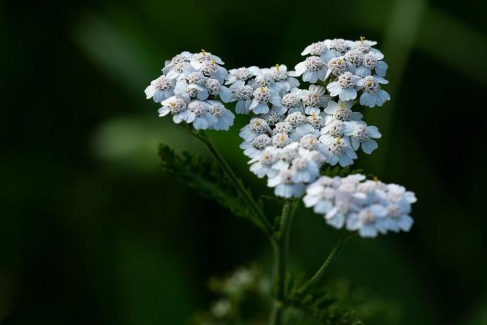 Yarrow Plant Blossom - Best Healing Herbs and Plants for Dogs