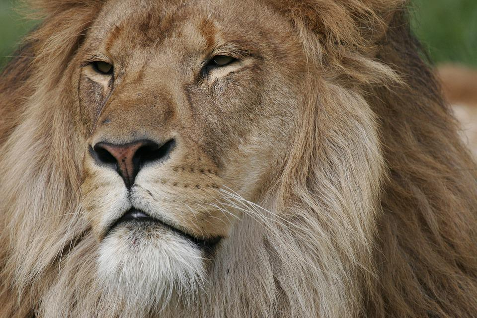 lion face regal free